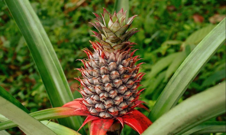 These Are The Top 5 Magical Health Benefits Of Consuming Pineapples